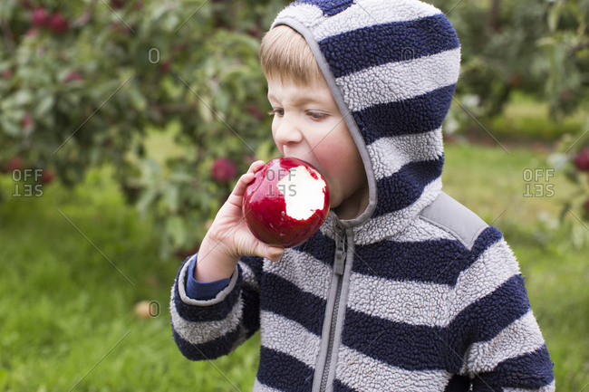 Child biting into a large red apple at an orchard