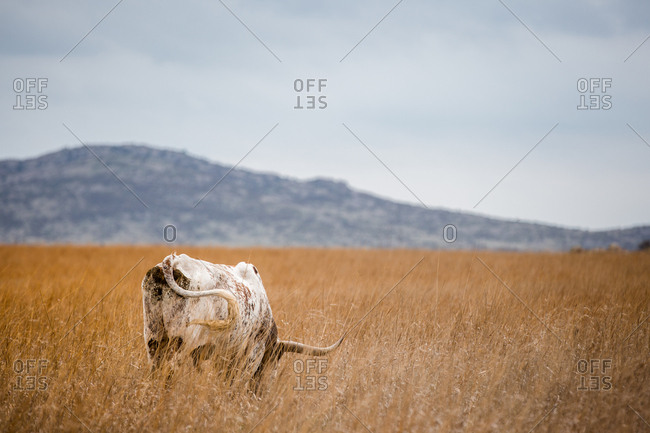 Rear view of a Texas Longhorn Cattle