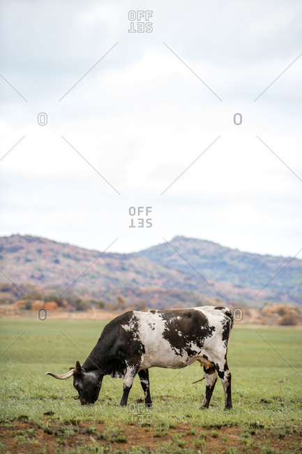 Texas Longhorn Cattle grazing in a wildlife refugee