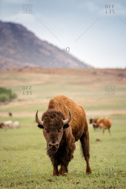 American Bison at a wildlife refugee in Oklahoma