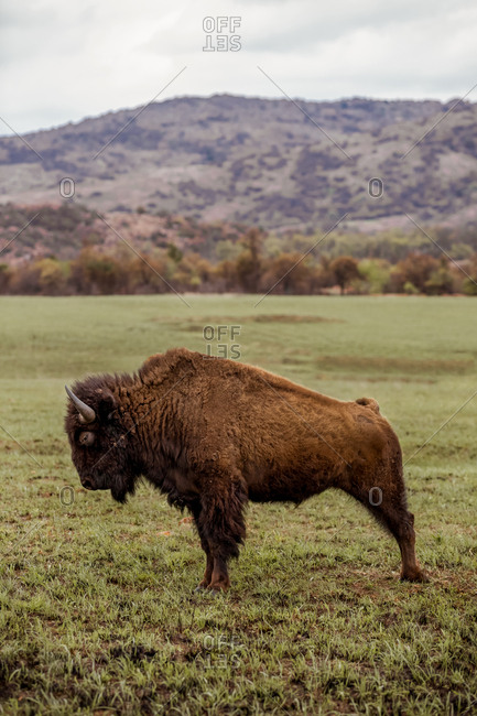 American Bison at a wildlife refugee