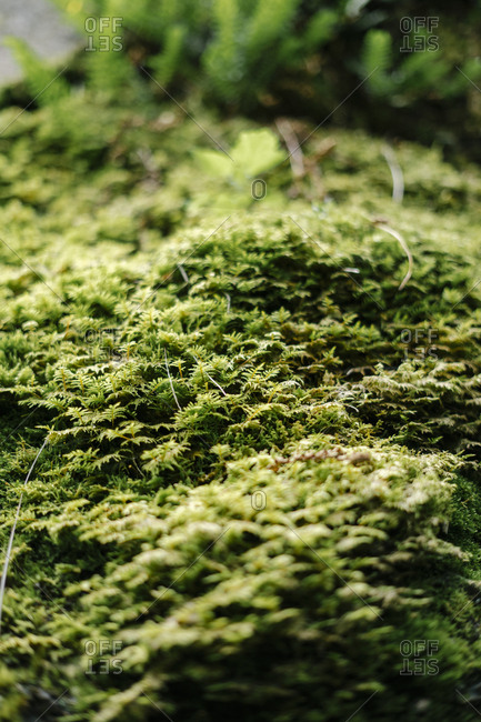 Close up of a green moss