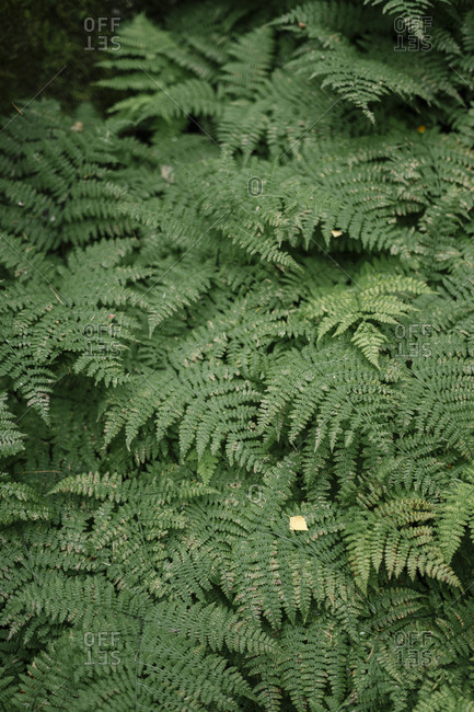 Cluster of ferns - Offset Collection