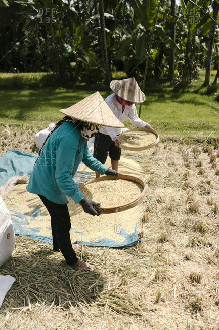 Two farmers harvesting rice