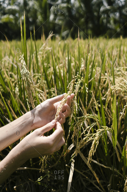 Woman's hands touching grains in a field