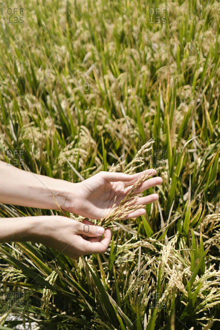 Woman's hands holding grains in a field