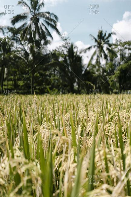 Grains growing in a field in Ubud, Bali, Indonesia