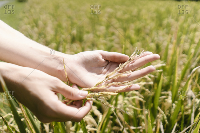 Woman holding grains in a field