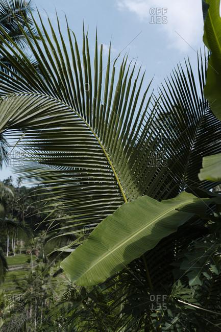 Palm trees growing in Ubud, Bali, Indonesia