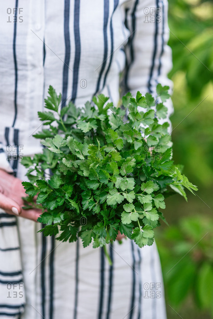 Close up of woman holding large bunch of fresh picked parsley in garden