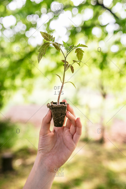 Detail of woman's hand holding small tomato plant ready to be replanted