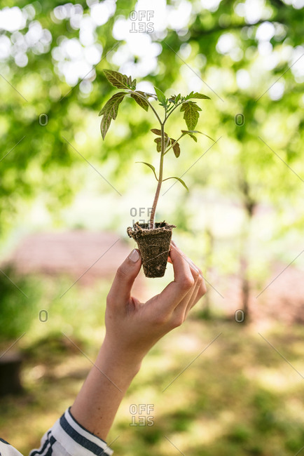 Close up of woman's hand holding young tomato plant ready to be replanted in garden