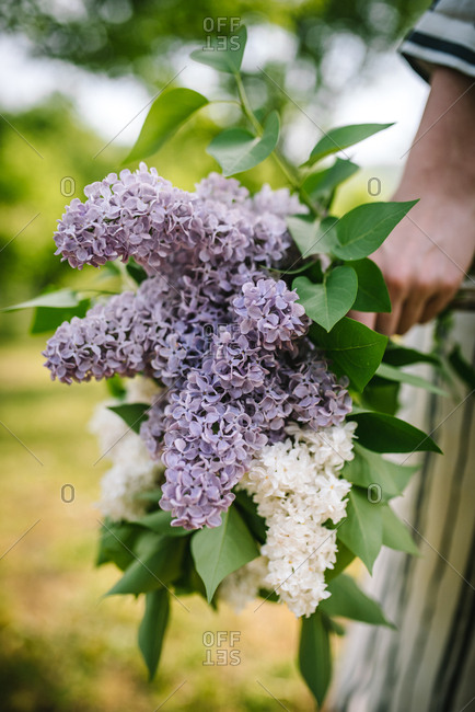 Close up of woman in striped dress in garden carrying bunch of fresh picked hydrangeas