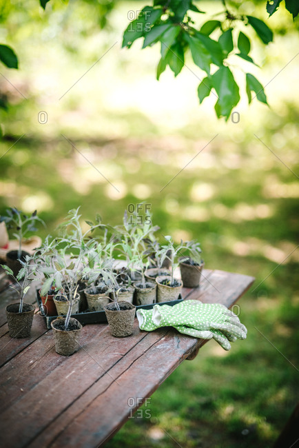 Young seedlings on a wooden table ready for replanting in garden