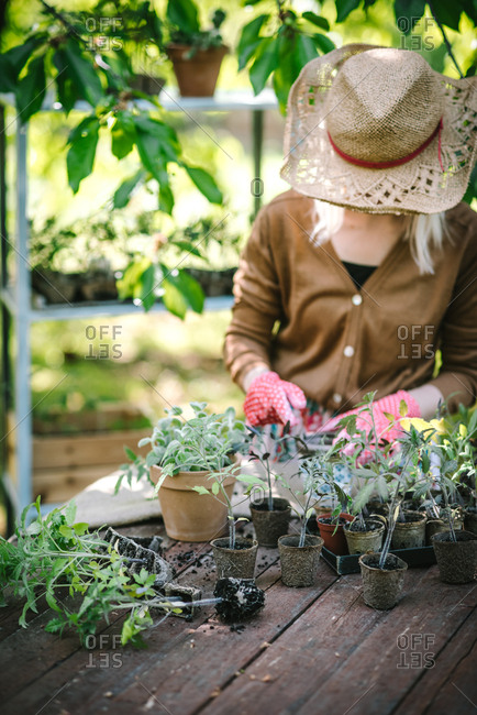 Woman at garden table preparing young plants for replanting
