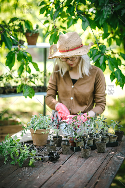 Woman in garden removing young plants from pots to replant