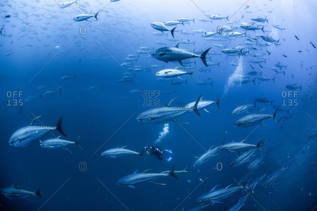 Diver with school of yellowfin tuna, Revillagigedo Archipelago, Tamaulipas, Mexico