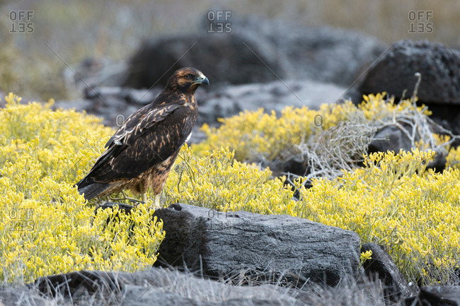 Galapagos hawk (Buteo galapagoensis) perched on rock, Espanola Island, Galapagos Islands, Ecuador