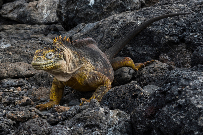 Land Iguana (Conolophus subcristatus) on rocks, South Plaza Island, Galapagos Islands, Ecuador