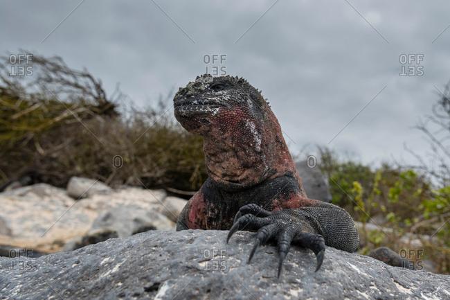 Marine Iguana (Amblyrhynchus cristatus) on coastal rock, Punta Suarez, Espanola Island, Galapagos Islands, Ecuador