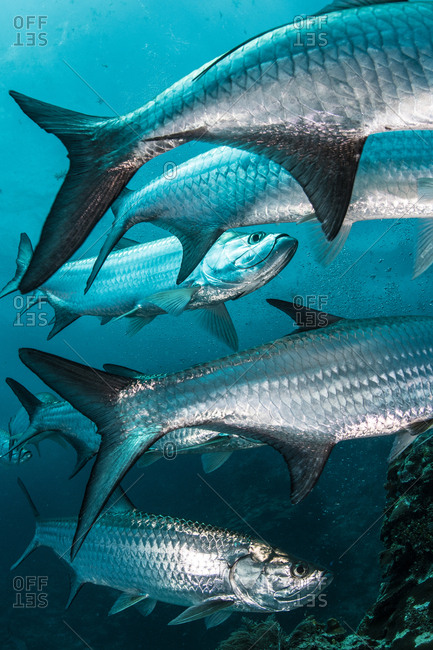 Underwater shot of large tarpon fish gathering, Quintana Roo, Mexico