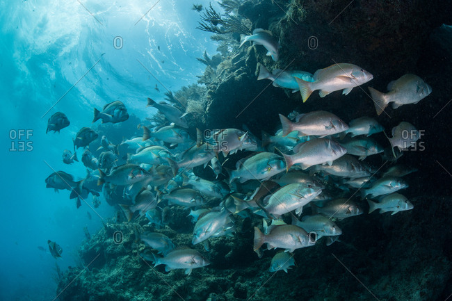 Underwater shot of red snapper shoal gathering to mate, Quintana Roo, Mexico