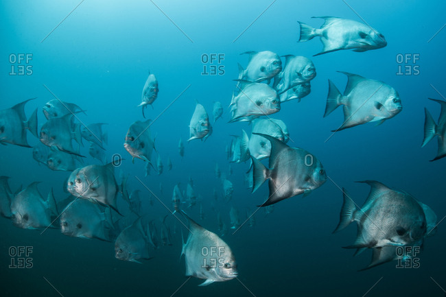 Underwater shot of schooling atlantic spade fish, Quintana Roo, Mexico