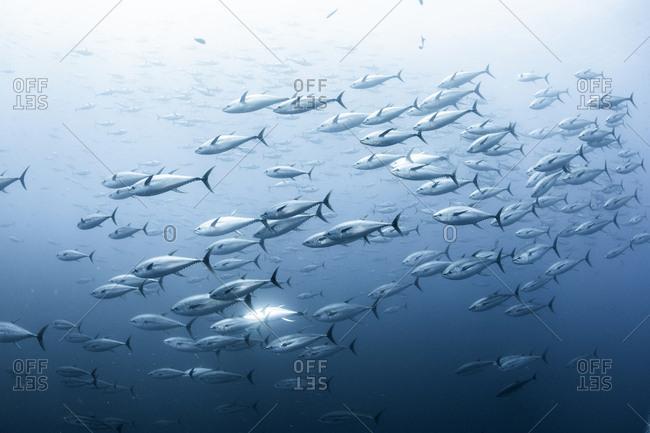 School of yellowfin tuna, Revillagigedo Archipelago, Tamaulipas, Mexico