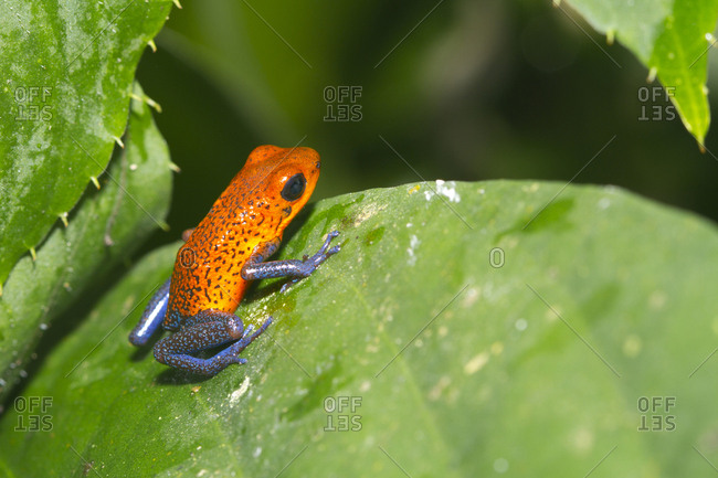 Close-up of a strawberry poison-dart frog on leaf