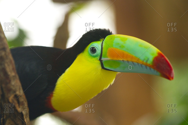 Close-up of a colorful keel-billed toucan