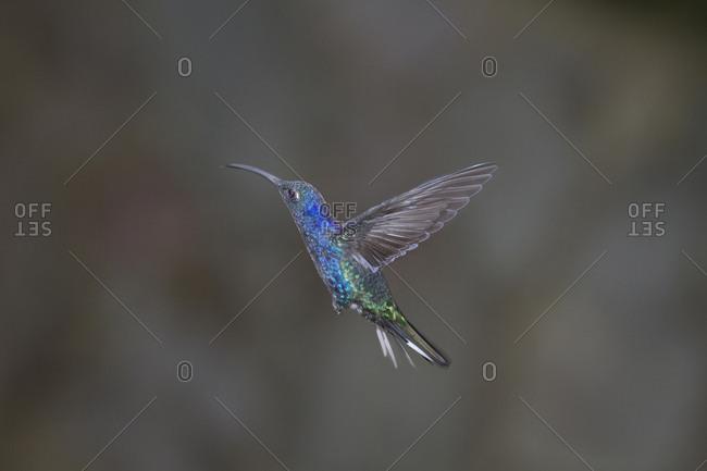 Violet sabrewing hummingbird in mid-flight