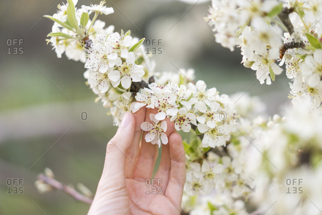 Hand touching white blossoms of fruit tree- close-up