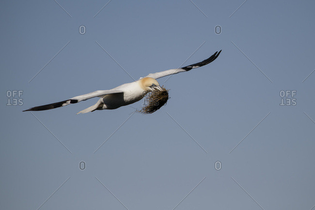 Scotland- flying Northern gannet with nesting material