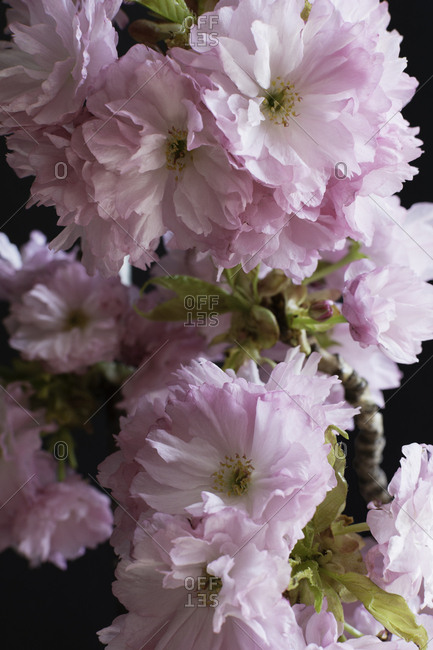 Close up of fresh blooming pink cherry blossoms