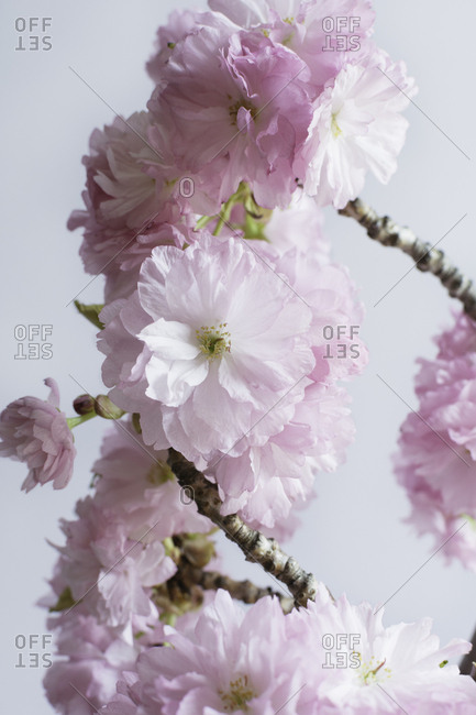 Fresh blooming cherry blossom branches