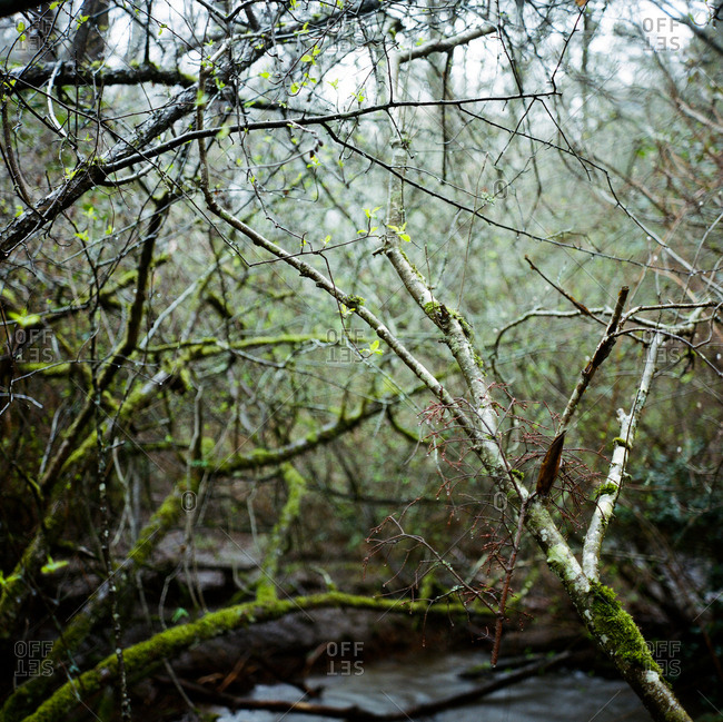Stream running through moody impenetrable mass of intertwined branches in woods