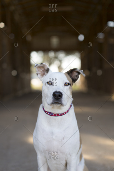 Adult farm dog staring intently at camera in front of barn