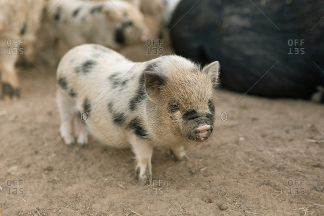 Baby pig standing in the dirt in front of family