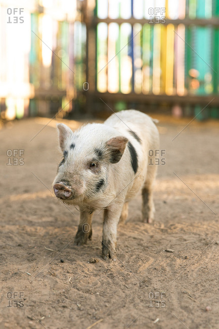 Small farm pig in pen at sunset