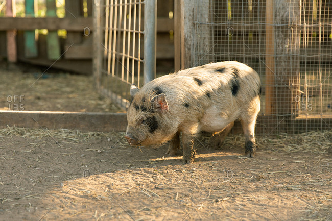 Small pig standing nonchalantly against pen fencing at sunset