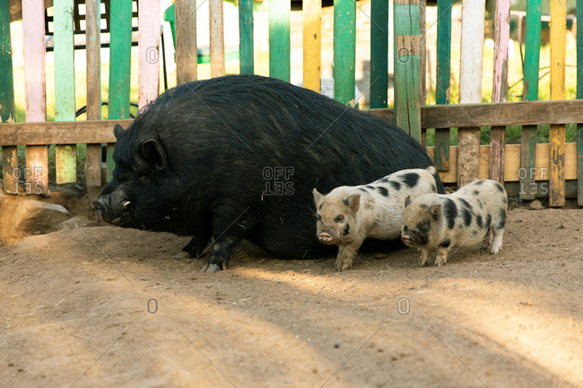 Two spotted piglets standing next to large mother pig in farm pen