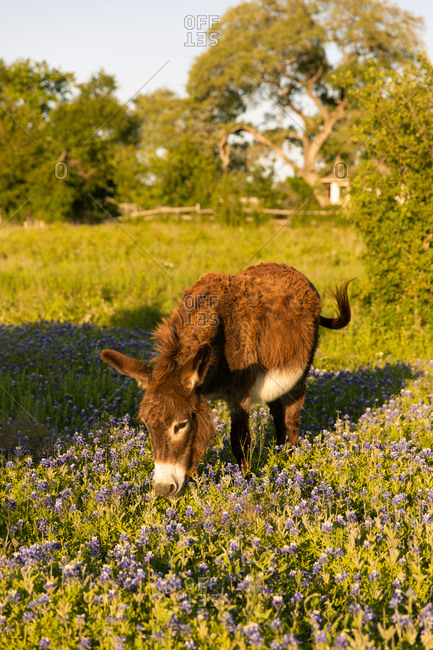 Lone donkey eating grass and wildflowers in setting sun