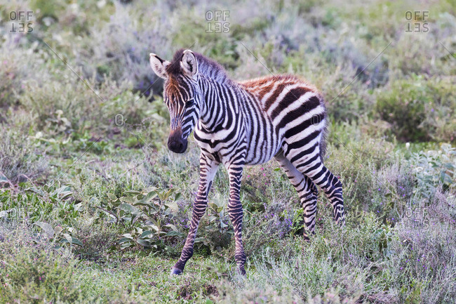 A baby zebra stands on the plains of the Serengeti, , Serengeti, Tanzania