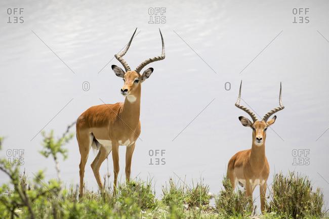 Two impalas stand next to a lake,  Tarangire National Park, Tarangire, Tanzania