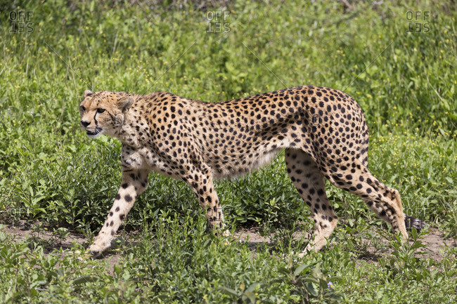A cheetah walks across the grasslands of the Serengeti, Serengeti, Tanzania