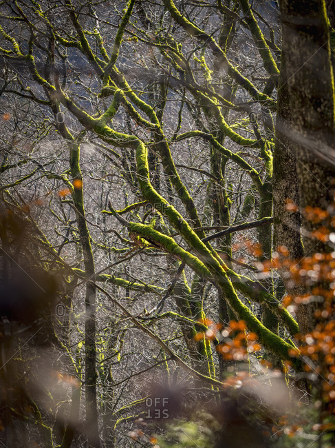 Moss covered trees in Black Forest, Baden-Wurttemberg, Germany