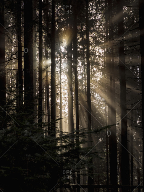 Silhouette of trees in Black Forest, Baden-Wurttemberg, Germany