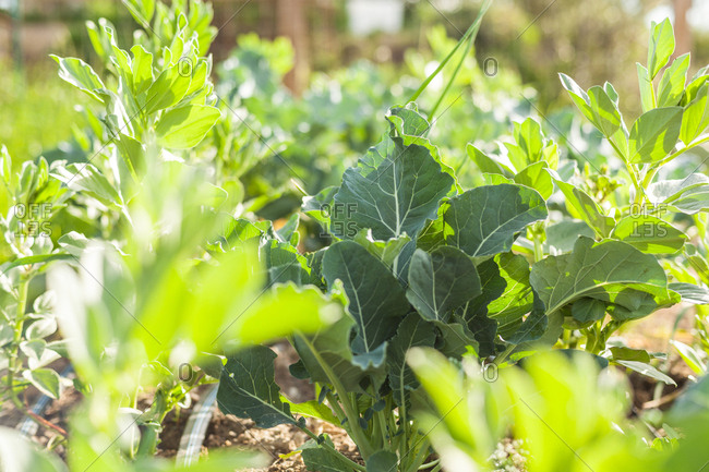 Leafy green vegetables growing in a garden