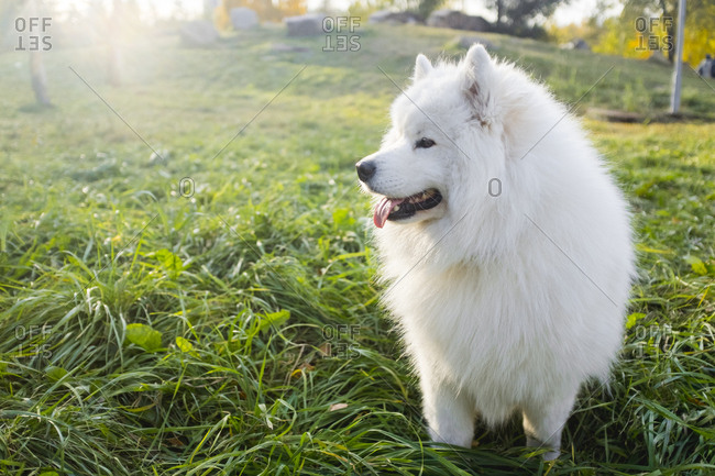 Portrait of a Samoyed dog standing in a field of grass