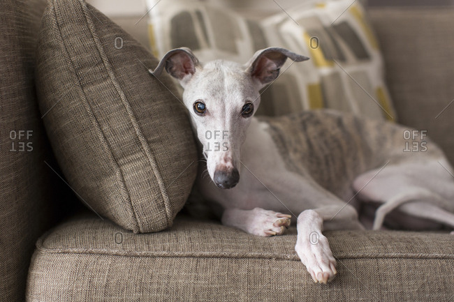 Whippet relaxing on the couch